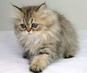 金吉拉猫个性及饲养须知
